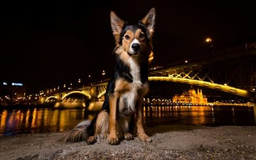 night, lights, muzzle, bridge, look, dog, puppy