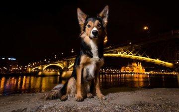 ночь, огни, мордочка, мост, взгляд, собака, щенок