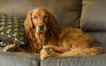 muzzle, look, dog, sofa, golden retriever