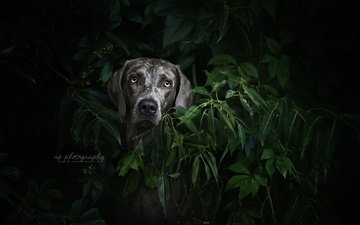 plants, leaves, muzzle, look, dog