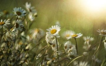 цветы, лето, лепестки, размытость, ромашки, стебли, солнечный свет
