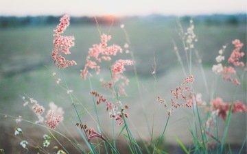 трава, растения, лето, луг, колоски
