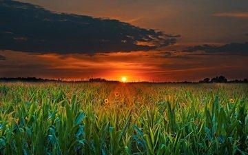 clouds, the sun, plants, sunset, field, horizon, twilight
