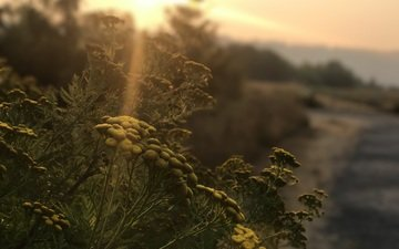 nature, plants, sunset, sunlight, tansy