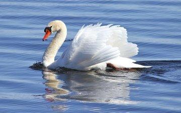 вода, белый, птица, клюв, перья, лебедь