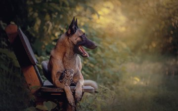 owl, nature, dog, bird, animal, bench, shepherd, tanja brandt