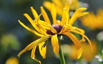 flower, petals, stem, bokeh, rudbeckia