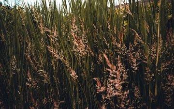 трава, природа, растения, колоски, заросли