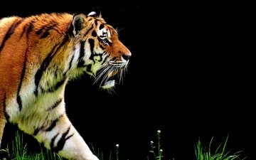 tiger, face, look, predator, profile, walk, wild cat