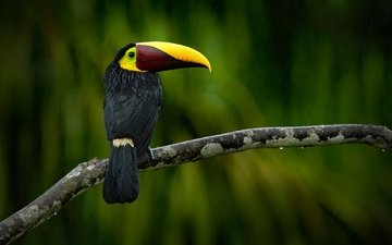branch, drops, blur, bird, toucan, beak, feathers