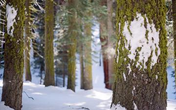 trees, snow, forest, winter, trunks, moss, bark