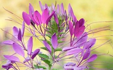 природа, цветок, лепестки, растение, клеома