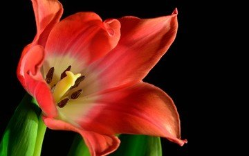 цветок, красный, черный фон, тюльпан, цветок .тюльпан