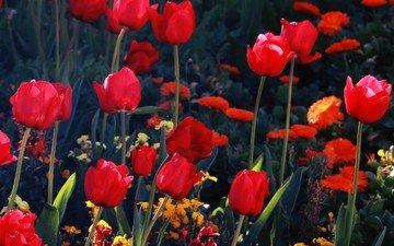 цветы, бутоны, лепестки, красные, тюльпаны