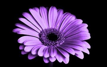 цветок, лепестки, черный фон, маргаритка