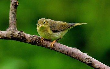 ветка, птица, клюв, перья, пеночка-весничка, пеночка
