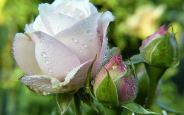 flowers, drops, roses, petals, bud, water drops
