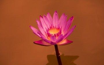 цветок, кувшинка, крупным планом, водяная лилия