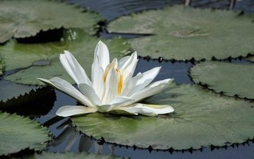 lake, leaves, flower, petals, lily, water lily