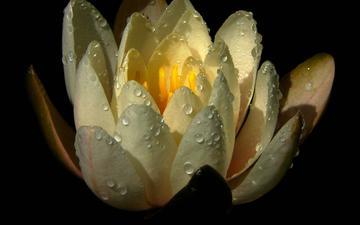 цветок, капли, лепестки, черный фон, кувшинка, водяная лилия