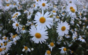 цветы, растения, лепестки, луг, ромашки, стебли