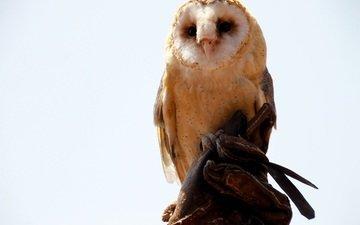 сова, хищник, сидит, птица, белый фон, сипуха
