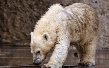 медведь, хищник, животное, белый медведь, зоопарк, медвежонок, мокрый