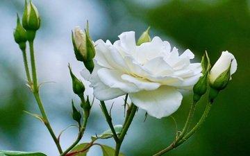 цветы, бутоны, розы, лепестки, кустарниковая