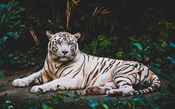 tiger, face, foliage, look, predator, wild cat, white tiger, lying