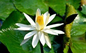 цветение, листья, цветок, лепестки, кувшинка, водяная лилия