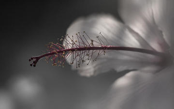 макро, цветок, лепестки, размытость, гибискус, nasser osman
