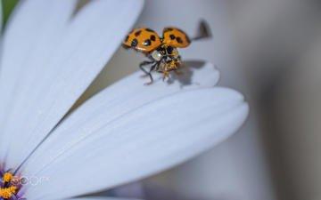 жук, насекомое, цветок, лепестки, божья коровка, гербера, aylin in the dropland