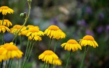 цветы, луг, весна, желтые, полевые цветы, размытие