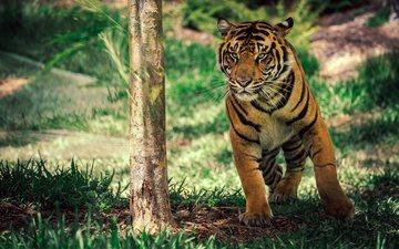 тигр, морда, трава, взгляд, хищник, дикая природа, дикая кошка