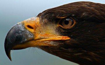 глаза, орел, хищник, профиль, птица, клюв