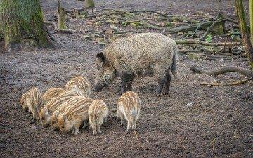 forest, mom, wildlife, pigs, boars, hog