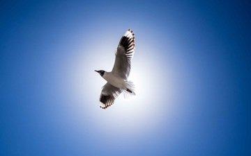 крылья, чайка, птица, клюв, перья, голубое небо
