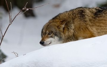 face, snow, winter, look, predator, hunting, wolf