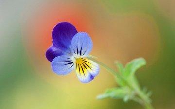 природа, цветок, лепестки, анютины глазки