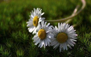 цветы, трава, природа, лето, лепестки, ромашки