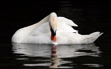 вода, отражение, птица, клюв, перья, лебедь
