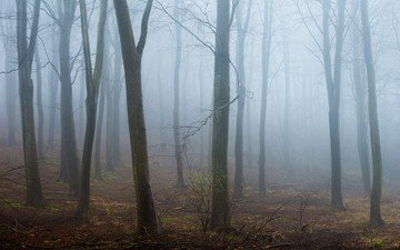 trees, forest, fog, trunks
