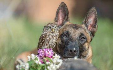 морда, цветы, сова, собака, птица, животное, пес, овчарка, tanja brandt