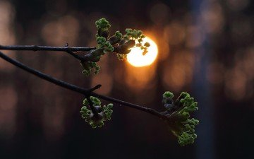 branch, the sun, leaves, sunset, spring, kidney