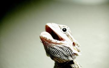 look, lizard, reptile, bearded agama