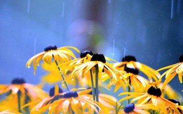 цветы, лепестки, дождь, желтые, капли воды, рудбекия