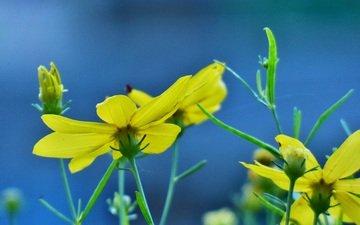 цветы, цветение, лепестки, бутон, весна, стебли, желтые, зверобой