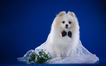 flowers, background, white, dog, puppy, fabric, forget-me-nots, breed, bow, bokeh, spitz