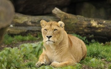 морда, трава, взгляд, хищник, животное, лев, бревно, львица, зоопарк, дикая кошка