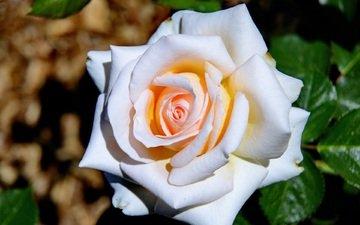 листья, цветок, роза, лепестки, крупным планом